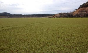 View of duck weed at Pindari Dam